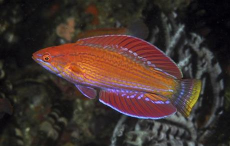 New flasher wrasse species discovered in Indonesia